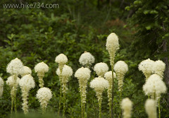 "Beargrass • <a style=""font-size:0.8em;"" href=""http://www.flickr.com/photos/63501323@N07/14876481282/"" target=""_blank"">View on Flickr</a>"