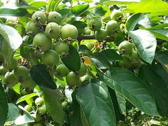 laden crabapple (deb_b_617) Tags: tree green fruit crabapple roxbury fruitful