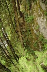 Cliff Walk - Blick nach untern; Capilano (13) (Chironius) Tags: vancouver kanada canada britishcolumbia baum bäume tree trees arbre дерево árbol arbres деревья árboles albero árvore ağaç boom träd tsugaheterophylla pseudotsugamenziesii douglasie hemlocktanne landschaft coniferales koniferen konifere