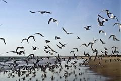 Parque Nacional de Doñana (España), Ecosistema de playa (ipomar47) Tags: park parque españa black bird beach niger pentax negro huelva playa national ave comun tern nacional k5 ecosystem matalascañas doñana chlidonias ecosistema sternidae gaviotin fumarel tufototureto
