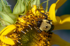 Bee on Sunflower (severalsnakes) Tags: flower macro home bug garden insect pentax bees manual pentaxm k30 smcpentax pentaxm1004