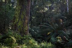 Waking Up (Ranga 1) Tags: morning trees forest canon moss rainforest australian australia melbourne victoria jungle ferns australianlandscape morningsun kallista ferngully gumtrees davidyoung treeferns australianbush ef1740mmf4lusm sassafrascreek canoneos5dmarkiii sassafrascreekroad