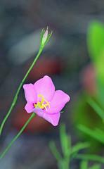 Bud & Bloom (tclaud2002) Tags: light sun florida bloom bud wildflower martincounty joneshungryland