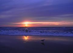 DSCN7033 Walking alone (pinktigger) Tags: sunset sea holland netherlands dutch scheveningen seagull nederland northsea awake seashore searising