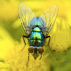 Fly Macro (- C_G -) Tags: flower macro reflection up yellow closeup fly close