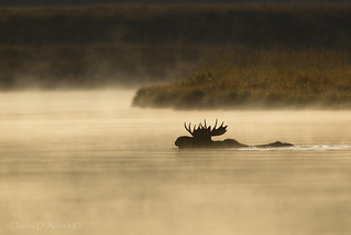Misty Morning Moose