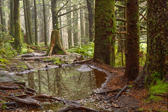 Rain Forest (c.r.borders) Tags: trees forest woods hiking foggy roots trail evergreen redcedar highaltitude conifer diffusedlight juniperusvirginiana