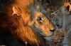 DSC_9311 (Arno Meintjes Wildlife) Tags: africa nature southafrica wildlife lion safari predator krugerpark predators big5 pantheraleo arnomeintjes