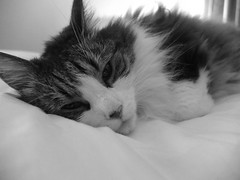 Sleepy time (David Kneller) Tags: cute cat fuji sandy maine fluffy coon mainecoon x10