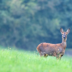 Spotted, Roe Deer, Cotswolds, Gloucestershire thumbnail