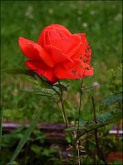 Rosa (celicom) Tags: rojo flora flor rosa