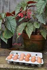 Fresh Eggs ,a gift from my chickens (KerrBear Photoblog) Tags: eggs fresheggs farmfresh