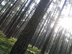 Greenwood Grace III (Adka62) Tags: wood autumn trees light sky tree green leaves moss woods europe greenwood tranquility grace calm serenity ferns pinewood