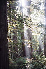 Redwood light (Lydia Brooks) Tags: california trees sun green nature northerncalifornia canon 50mm prime 5d redwoods magical epic beams sunbeams sunflare gorgeouslight