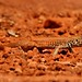 Lizard - Monument Valley