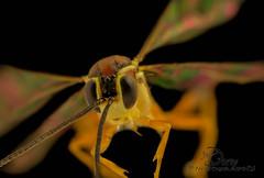 Unknown Ichneumon Wasp sp. 3 (Jbdorey) Tags: family macro nature james focus wasp australian stack ichneumon species entomology hymenoptera dorey ichneumonidae parasitoid familyichneumonidae jbdorey