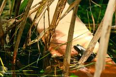 (33 Photography) Tags: light shadow lake forest surface frog  lightandshadow nantou         lakesurface nantouhsien