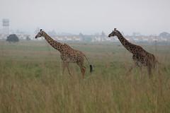 IMG_4055 (Jarod Burns) Tags: africa nationalpark kenya wildlife nairobi safari giraffe nairobinationalpark