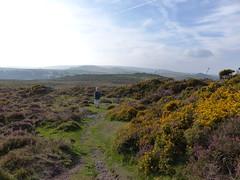 P1010335 (jrcollman) Tags: people plants portraits susan places devon dartmoor houndtor ulexgallii eplant ericacinerea haytortohoundtor