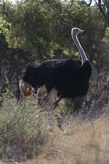 Ostrich ( Struthio camelus ) (Zsuzsa Por) Tags: africa animal canon wildlife botswana animalplanet mokolodi canonistas mokolodinaturereserve