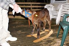 813 hours old (dela7) Tags: horse milk bottle chair shoes rail deck rocking calf duc813 downunderchallenge813