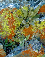 Dudleya cymosa, CANYON LIVEFOREVER (openspacer) Tags: crassulaceae dudleya lichen liveforever lowercottonwoodwildlifearea
