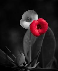 Give back my heart's colour! (Vitor S. Cruz) Tags: red heart love mix digitalmanipulation canon 400d ef24105f4lisusm colour macromondays closeup tiny flower coroadecristo euphorbiamilii