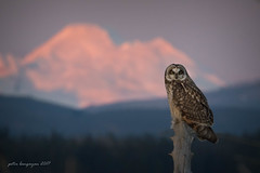 Short - eared Owl (Peter Bangayan) Tags: shortearedowl owls birds birdsofprey nature wildlife wildlifephotography stanwoodwa washington canon ef500mmf4lisusm eos7d eos7dmkii