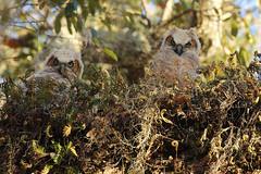 Baby Owls In Camouflage (Robert F. Carter Travels) Tags: owl owls babyowls greathornedowl owlettes owlette cbbr circlebbarreserve wetland marsh swamp wetlands marshes swamps wildlife reserves preserves reserve preserve nature bubovirginianus fern resurrectionfern