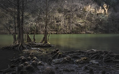Up and at Em, It's Daylight in the Swamp (keith_shuley) Tags: swamp backwater stream creek roots knees cypress cypressgrove austin texas dawn landscape olympus