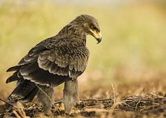 Tawny Eagle - Juvenile. (Vikas.B.Chavan) Tags: nikond7100 afsnikkor300mmf4difed tawnyeaglejuvenile aquilarapax