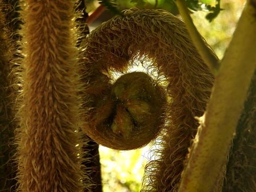 Hairy fern