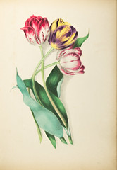 Floral Bells Botanical Folio - Tulips (Madison Historical Society (CT-USA)) Tags: madisonhistoricalsociety madisonhistory mhs madison connecticut conn ct connecticutscenes country usa newengland nikon nikond600 d600 bobgundersen bostonpostroad route1 allisbushnellhouse abhouse antiques old historical history museum art poetry cmbadger book document painting flower interesting image inside indoor interior photo picture shot scene scenes clarissabadger clarissamunger clarissamungerbadger mrscmbadger flickr botanical botanicalartist prose folio botanicalillustrator womanartist flowerpaintings graceful stylized watercolor delicacy lithographicplates illustrated illustrator sketch illustration design floralbellesfromthegreenhouseandgarden floralbells