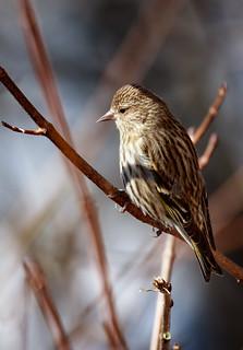 Pine Siskin winter visitor (Explore)