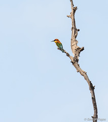 Chestnut-headed Bee-eater (George Pagos) Tags: preahvihéar tmatboey chestnutheadedbeeeater cambodia birds