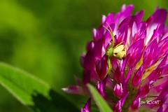 DSC03387_GF (TATIUMZI) Tags: france macro nature fleur sony sigma dordogne alpha 700 printemps forêt insecte araignée etang aquitaine 105macro proxi eygurande alpha700 sonyalpha700