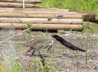 Mink chasing Rabbit