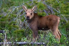 moose calf (DCarline) Tags: colorado wildlife sony moose rmnp calf a99 coloradowildlife 70400g2