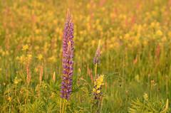 Field of flowers (Rene Mensen) Tags: nikon rene es lupin emmen mensen d5100