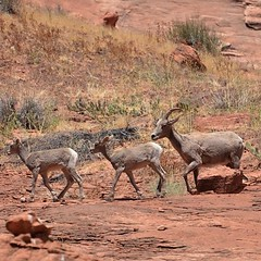 Desert Bighorn in Glen Canyon. #wildlife #bighornsheep #coloradoriver