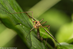 20140609-DSC_3532 (M van Oosterhout) Tags: holland macro nature netherlands animal bug insect spider fly bee flies