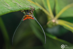 Macracantha arcuata ♀ (PF T.J.) Tags: macro beautiful spider long web arachnid malaysia fancy spine curve araneidae