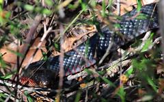 Red bellied black snake (LSydney) Tags: snake pseudechisporphyriacus redbelliedblacksnake manlydam