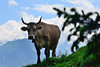 On mount Pilatus - Switzerland (Werner_B) Tags: summer mountain alps nature berg landscape schweiz switzerland kuh cow natur pilatus alpen lucerne landschaft luzernpilatusmountainlandscapeswitzerlandschweizalpsalpenberglandschaftnaturesummernatur wernerbuchel