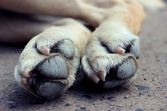 Lily's Dusty Paws (Rae Lucy) Tags: dog pet macro feet animal stone canon gold paw labrador lily alive paws goldenlabrador