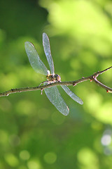 Hello down there (cheryl.rose83) Tags: insect dragonfly odonata meadowhawk