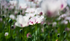 Poppy Field (HannahGE) Tags: sunlight white abstract blur flower colour macro field reading spring purple depthoffield oxfordshire cultivated