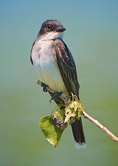 Pondering (Feathered Trail Photos) Tags: audubon kingbird mfcc njbirds avianexcellence fabuleuse mynj