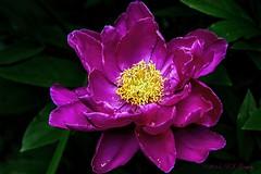 Peony or Rose? (20140701-155436-PJG) (DrgnMastr) Tags: roses peony agg flowerbloom fabulousflowers allrightsreserveddrgnmastrpjg diamondclassphotographer flickrdiamond sacrednature naturesspirit flowersofflickr newenvy floralfantasia naturescarousel hennysgardens theshootingstars sunshinegroup sunrays5 jadensgarden grouptags pjgergelyallrightsreserved simplyflowers2008
