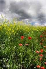 Les coquelicots et le colza (Lisa_BN) Tags: ciel nuages champ coquelicot colza